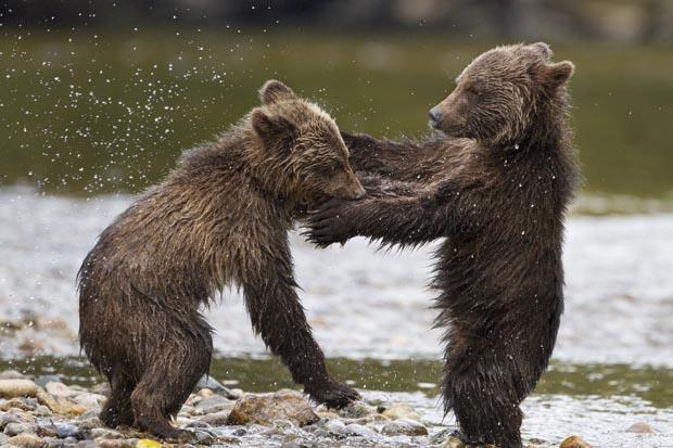 Bears-2, Copyright Walt Disney Studios Motion Pictures